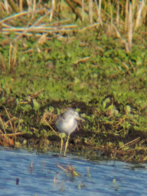 Greenshank_Croston_Moss_email.jpg