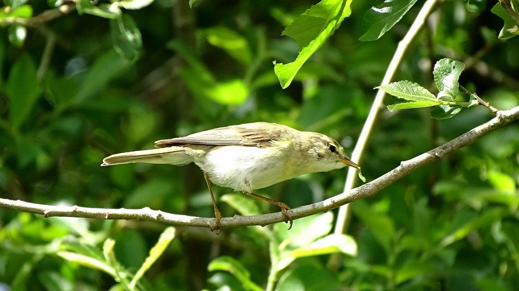 20-5-21 willow warbler wc.JPG