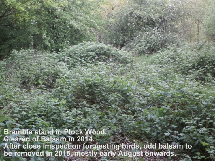 Cleared of Balsam 2014, Bramble stand Plock Wood Mid May 2015.jpg